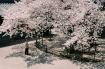 Mùa hoa anh đào tĩnh lặng, man mác buồn ở Nhật