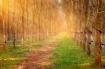 Đẹp Như Rừng Cao Su Gia Lai Mùa Thay Lá
