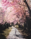 Đầu năm mới, sao không một lần chơi lớn sang hẳn Thái Lan ngắm rừng hoa anh đào đẹp như trong phim ngôn tình