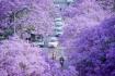 Mùa hoa phượng tím đẹp rực rỡ ở Vân Nam Trung Quốc
